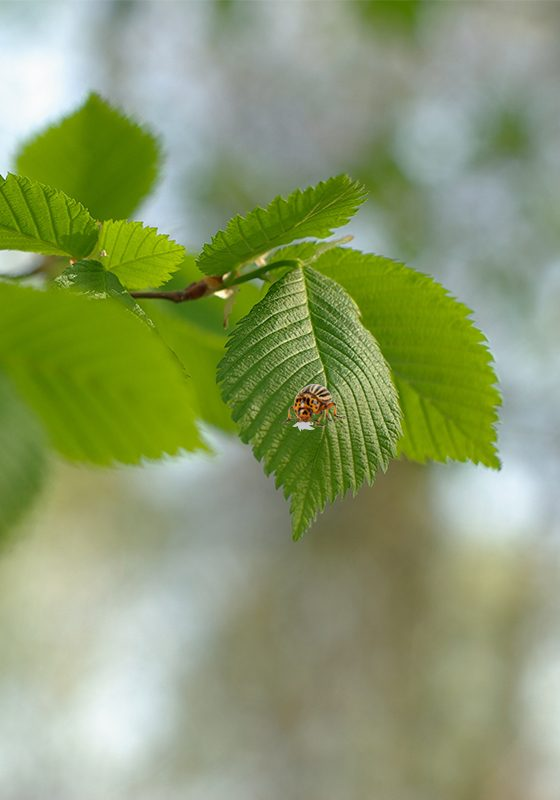 Elm-Leaf-Beetle-Control-faq